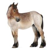 Foal pesante belga del cavallo, Brabancon fotografia stock libera da diritti
