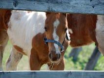 foal pinto Στοκ φωτογραφία με δικαίωμα ελεύθερης χρήσης