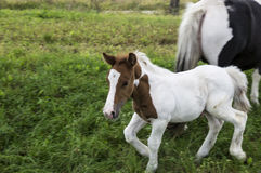 Foal play Royalty Free Stock Photos