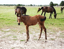 Foal playing and grazing on green meadow Royalty Free Stock Image