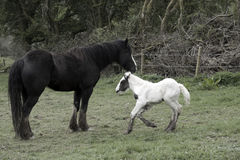 Foal playing beside its mother Stock Image