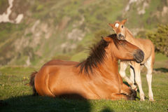 Foal playing with mare. Mother and daughter, foal playing with mother Royalty Free Stock Photo