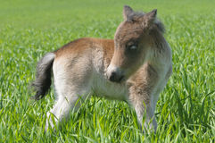 Foal pony Stock Photo
