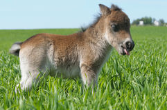 Foal pony Stock Image