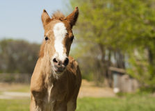 Foal pony with a white blaze on his head. Red foal pony with a white blaze on his head Royalty Free Stock Photo