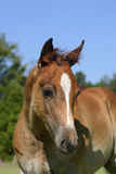 Foal Portrait Royalty Free Stock Images