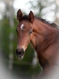 Foal portrait Stock Photos