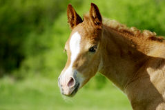 Foal portrait Stock Photo