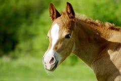 Foal portrait stock photo