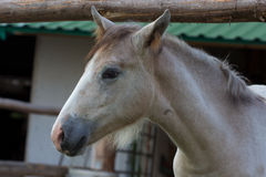Foal portrait. Side view of a Camargue foal Stock Image