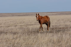 Foal in prairie Royalty Free Stock Images