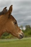 Foal in profile Stock Images