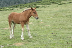 Foal in Pyrenees Royalty Free Stock Images