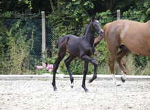 Foal raises forequarters Royalty Free Stock Photography