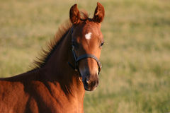 Foal raoul Royalty Free Stock Photos