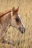 Foal resting Royalty Free Stock Images
