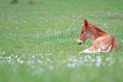 Foal resting Stock Image