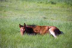 Foal resting in a field. Young horse resting in a field Stock Photos