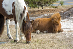 Foal resting with its mother on Assateague Island, Maryland. Royalty Free Stock Photo