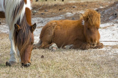 Foal resting with its mother on Assateague Island, Maryland. Royalty Free Stock Images