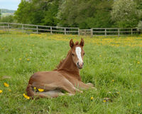 Foal resting in a paddock Stock Photos