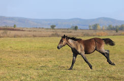 Foal running Royalty Free Stock Photo