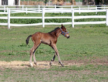 Foal running farm scene Stock Images