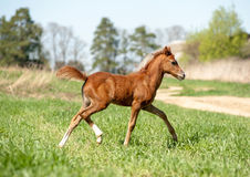 Foal running Royalty Free Stock Photos