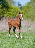 Foal running Stock Photo