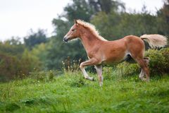 The running foal. The foal is running on the meadow in summer stock photos
