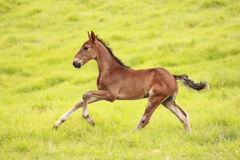 Foal running through meadow Royalty Free Stock Photo