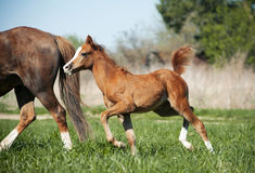 Foal running Royalty Free Stock Images