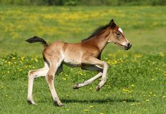 Foal running Stock Photo