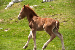Foal running on a pasture. Foal running on a summer pasture Royalty Free Stock Photo