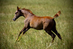 Foal running. On the summer pasture Royalty Free Stock Photo