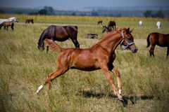 Foal running. On the summer pasture Royalty Free Stock Photography