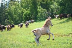 The foal running to the herd of horses stock photo