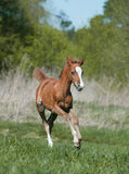 Foal running Stock Photos