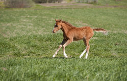 Foal running Stock Image