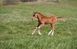 Foal running Stock Image