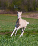 Foal runs Royalty Free Stock Photo