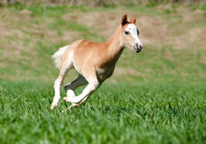 Foal runs. Fast gallop in a field Royalty Free Stock Photography