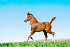 Foal runs in a field. Trotting Stock Photo