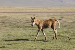 A foal runs through the steppe at Song Kul Lake. In Kyrgyzstan Stock Photos