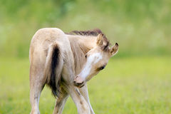 Foal scratching his leg Royalty Free Stock Photos