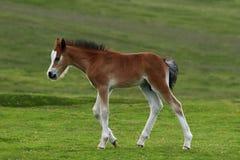 Foal selvaggio fotografia stock