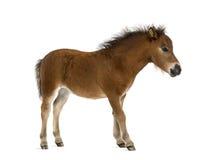 Foal Shetland - ενός μηνός βρέφος Στοκ Εικόνες