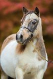 Foal, Shetland pony. Royalty Free Stock Photography