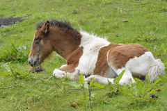 Foal sitting down Stock Image