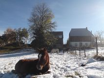 The Foal sitting on the snow. The Foal sitting of the snow and the other horses behind Stock Image